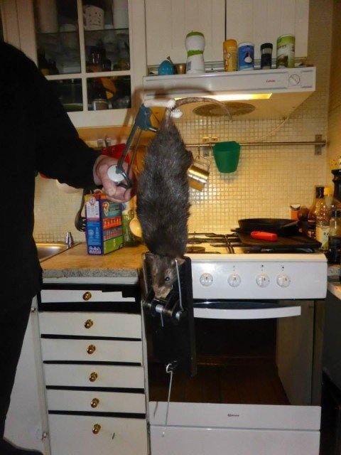 Measuring nearly 16in plus tail, the rat terrified the family in Solna district
