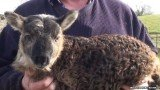 The geep was born about two weeks ago on Paddy Murphy's farm in County Kildare