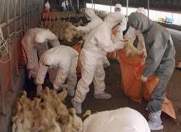The highly pathogenic H5 virus was detected through genetic testing of chickens at a farm in Kumamoto prefecture