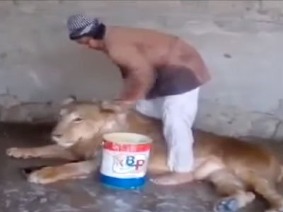 Yemeni man giving bath to a lion in cage