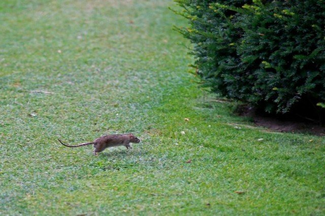 The Louvre museum in Paris has called in the pest controllers after picnickers in its gardens encouraged an infestation of rats