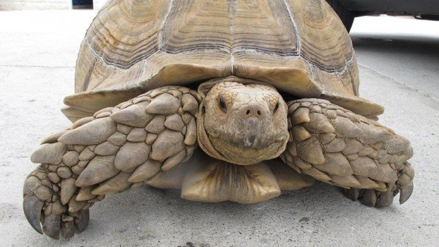 Alhambra police ask for public's help in identifying the owner of 150-pound tortoise
