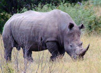 South Africa's Kruger National Park will evacuate hundreds of rhinos to save them from poachers
