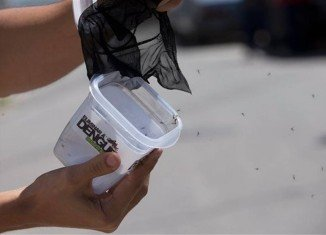 Brazilian researchers in Rio de Janeiro have released thousands of mosquitoes infected with Wolbachia bacteria that suppress dengue fever