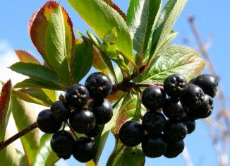 Chokeberries may have a role in boosting cancer therapy