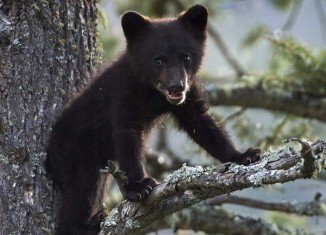 Bears are not known to live in Central Park at the centre of one of America's most densely populated cities
