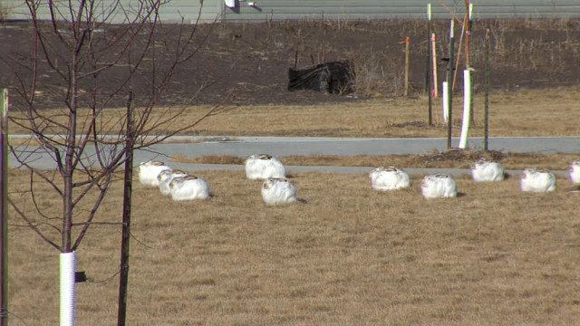 Jackrabbit invasion Fargo, North Dakota