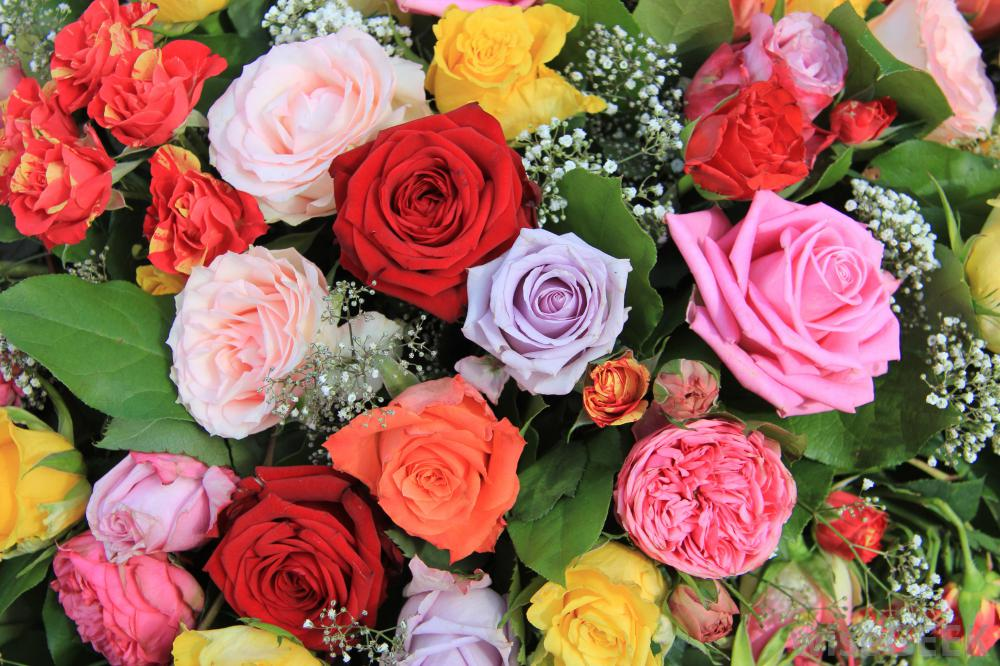 Valentine 39 s day rose color language for What colors make rose