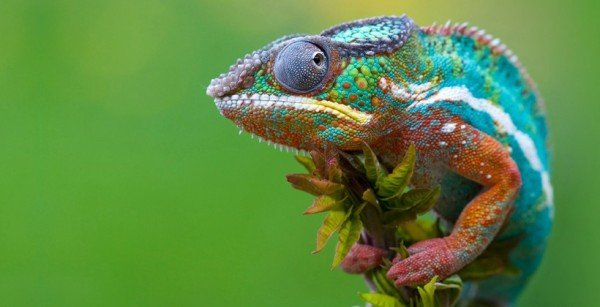 Chameleon changing color 2015