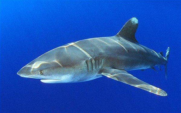 Red Sea shark attack oceanic whitetip