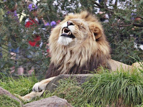 Lion shot dead China zoo