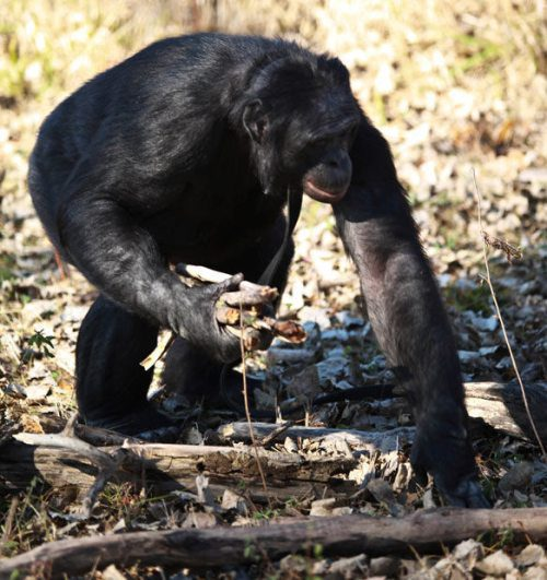 Chimpanzee can cook