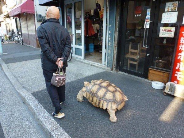 Japanese man walking pet giant tortoise