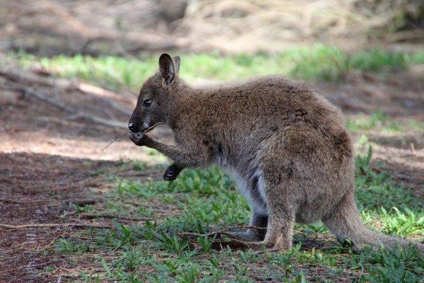 Left handed kangaroo study