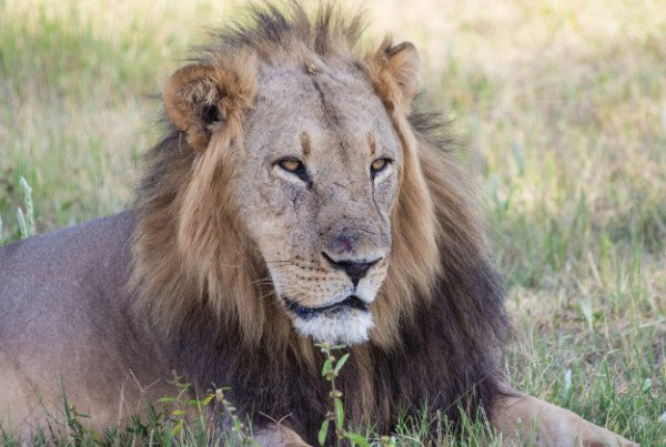 Cecil the lion killing Zimbabwe trial