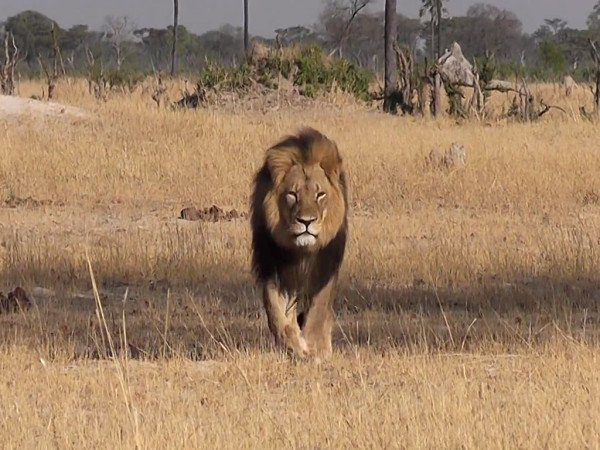 Cecil the lion statue planned
