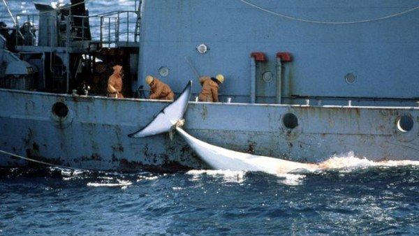 Japan resumes whaling program