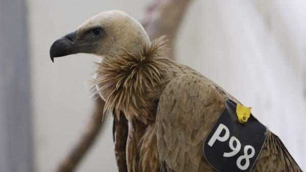 Israel griffon vulture detained in Lebanon