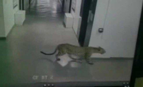 Bangalore leopard attack Vibgyor school