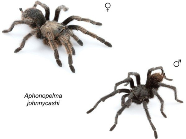 Black tarantula Johnny Cash