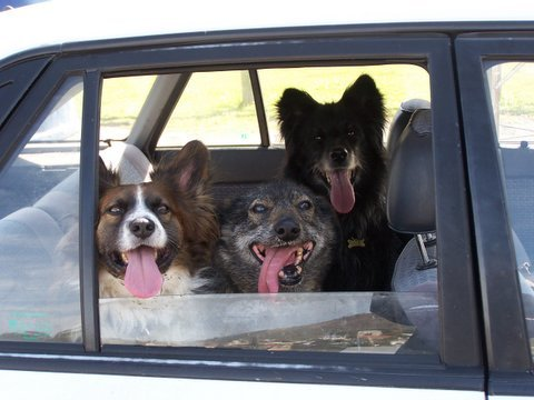 dogs-in-car